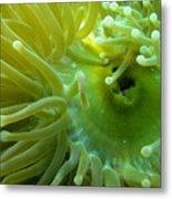 Anemone Shrimp2 Metal Print