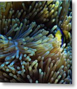 Anemonefish Hiding Metal Print