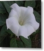 Angel Trumpet - Color Metal Print