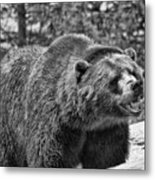 Angry Bear Black And White Metal Print