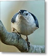 Angry White Breasted Nuthatch Metal Print