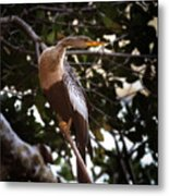 Anhinga Water Fowl Metal Print