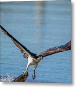 Animal - Bird - Osprey Catching A Fish Metal Print