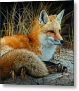 Animal - The Alert Fox  Metal Print