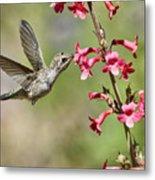 Anna's Hummingbird And The Penstemon  Metal Print