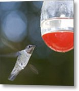 Annas Hummingbird Calypte Anna Metal Print