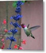Anna's Hummingbird Feasting At Blue Salvia Metal Print