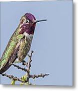 Anna's Hummingbird Perched Metal Print