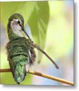 Anna's Hummingbird - Preening Metal Print