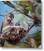 Anna's Hummingbirds Metal Print