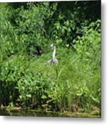 Annoyed - Heron and Red Winged Blackbird 5 of 10 Metal Print