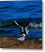 Another One Take A Tern Metal Print