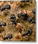 Ant Crematogaster Sp Group Metal Print
