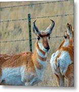 Antelopes Metal Print