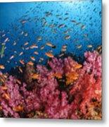 Anthias Fish And Soft Corals, Fiji Metal Print