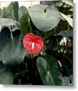 Anthurium Flower  Metal Print