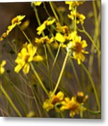 Anza Borrego Desert Sunflowers 1 Metal Print