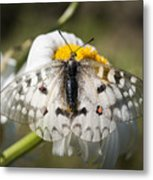 Apollo Butterfly Metal Print