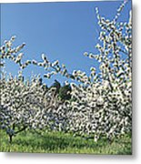 Apple Blossom Trees Norway Metal Print