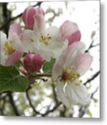 Apple Blossoms - Wild Apple Metal Print
