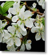 Apple Blossoms 3 Metal Print