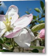 Apple Blossoms Art Prints Canvas Blue Sky Pink White Blossoms Metal Print