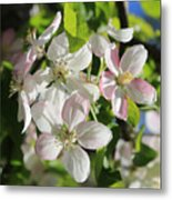 Apple Blossoms Square Metal Print