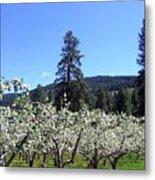 Apple Orchard In Bloom Metal Print
