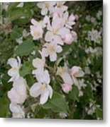 Apple Tree In Bloom Metal Print