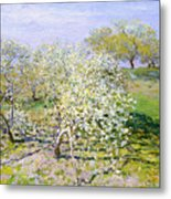 Apple Trees In Bloom  Metal Print
