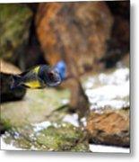 Aquarium Fish At Stones Arrangement Metal Print