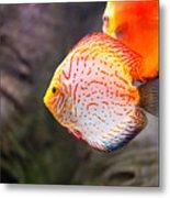 Aquarium Orange Spotted Fish Metal Print