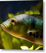 Aquarium Striped Fish Portrait Metal Print