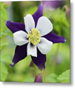 Aquilegia Swan Violet And White Metal Print