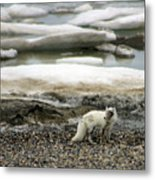 Arctic Fox By Frozen Ocean Metal Print