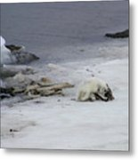 Arctic Fox Eating Metal Print