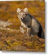 Arctic Fox Striding Out Metal Print