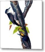 Arctic Three-toed Woodpecker Audubon Birds Of America 1st Edition 1840 Octavo Plate 268 Metal Print