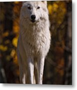 Arctic Wolf On Rocks Metal Print