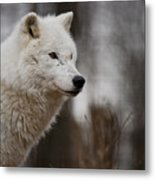 Arctic Wolf Pictures 1242 Metal Print