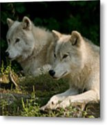 Arctic Wolf Pictures 1268 Metal Print
