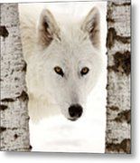 Arctic Wolf Seen Between Two Trees In Winter Metal Print