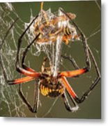 Argiope Spider Wrapping A Hornet Metal Print