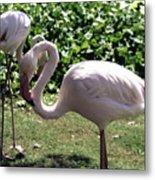 Arizona Flamingos Metal Print