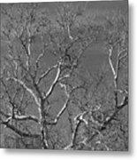 Arizona Sycamore Tree Filtered 022714 Metal Print