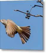 Ash-throated Flycatcher Flight Metal Print