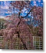 Asian Cherry In Blossom Metal Print