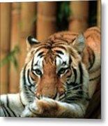 Asian Tiger 5 Metal Print