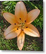 Asiatic Lily With Poster Edges Metal Print