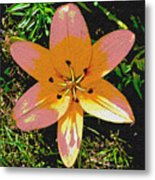 Asiatic Lily With Sandstone Texture Metal Print